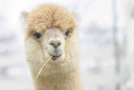 Charnwood Forest Alpacas - Adopt an alpaca, Include a meet and greet experience - Save 55%