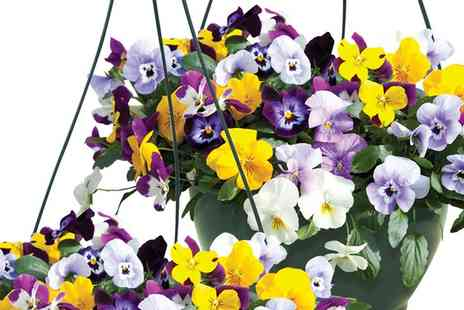 Jersey Plants Direct - Two Pre Planted Hanging Baskets With Free Delivery - Save 20%