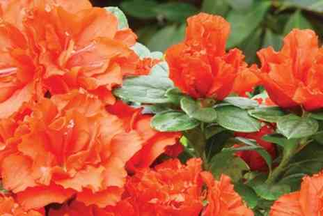 Van Meuwen - Hardy Dwarf Azalea Four or Eight Plants Collection With Free Delivery - Save 67%