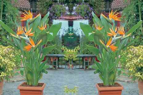 Van Meuwen - Exotic Bird of Paradise Plant With Free Delivery - Save 33%