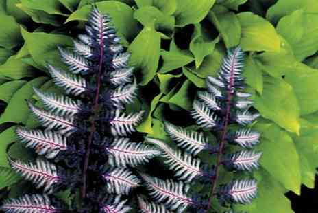 Van Meuwen - Mixed Hardy Fern Collection With Free Delivery - Save 40%