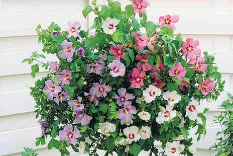 Groupon Goods Global GmbH - Hibiscus Tri Colour Standard One, Two or Four Plants - Save 65%