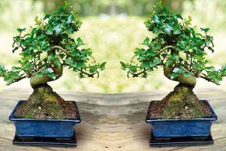 Groupon Goods Global GmbH - Bonsai Tree with Glazed Dish and Saucer - Save 57%