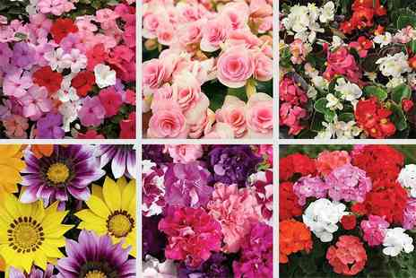 Jersey Choice - 170 Spring bedding plants - Save 75%