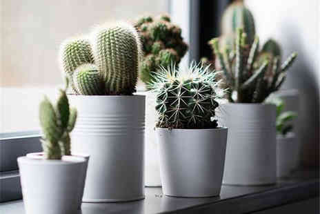 PlantStore - Three mixed cacti - Save 73%