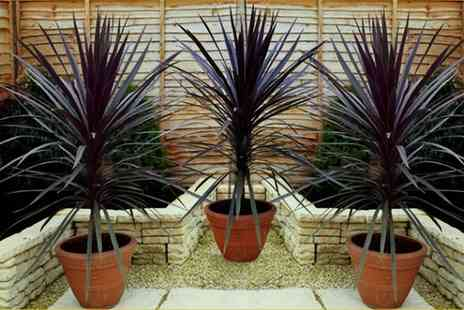 Groupon Goods Global GmbH - Cordyline Red Sensation Plants with Optional Flared Planters - Save 50%