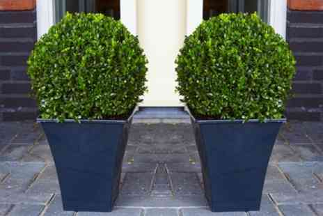 Groupon Goods Global GmbH - Two or Four Topiary Buxus Balls or Two or Four Buxus Pyramids - Save 53%