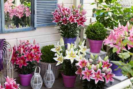 Groupon Goods Global GmbH - Lily Romance Collection 6 Bulbs or 12 Bulbs - Save 31%