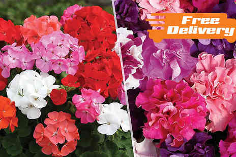 Jersey Plants Direct - 70 or 140 Petunia or Geranium Bedding Plants Free Delivery - Save 27%