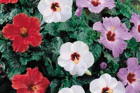 Van Meuwen - Hibiscus Collection Three, Six or Nine Plants With Free Delivery - Save 50%