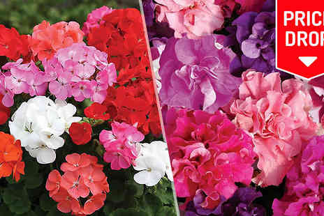 Jersey Plants Direct - 70 or 140 Petunia or Geranium Bedding Plants - Save 33%