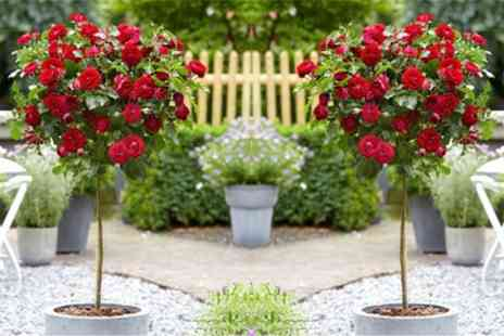Groupon Goods Global GmbH - Two or Four Patio or Large Standard Rose Trees with Optional Planters and Rose Feed - Save 72%