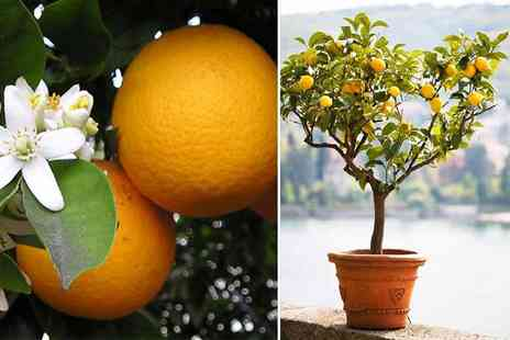 Essim - Two Mediterranean citrus trees get a lemon and orange tree - Save 55%