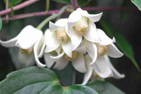 Groupon Goods Global GmbH - One, Two or Three Clematis Winter Beauty Plants - Save 40%