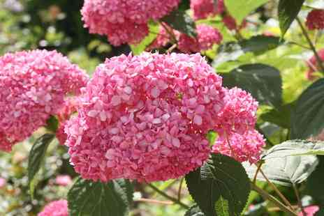 Groupon Goods Global GmbH - One, Two or Four Hardy Shrub Hydrangea Pink Annabelle Plants with Pots - Save 54%