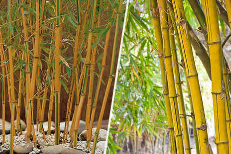 Blooming Direct - Large Golden Clumping Bamboo Trees 2L Pot - Save 30%