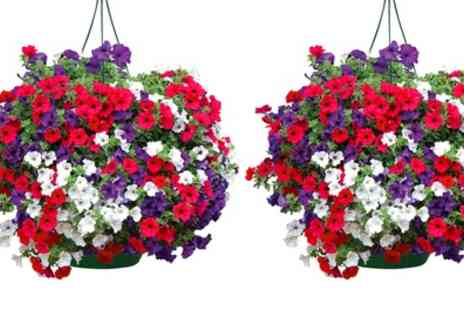 Jersey Plants Direct - Two Pre Planted Petunia Patriotic Hanging Baskets - Save 20%