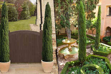 Blooming Direct - Pair of Extra Large Italian Cypress Trees - Save 33%
