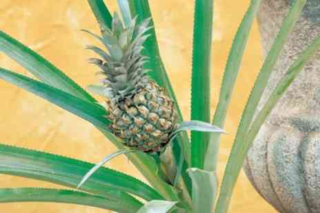 Groupon Goods Global GmbH - Ornamental Pineapple Plant One or Two Plants - Save 35%