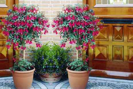 PlantStore - Pack of two fuchsia trees - Save 67%