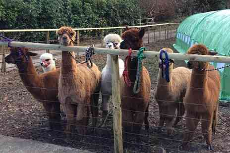Woolley Animals - Alpaca walk and meet the farm animals experience with refreshments for two - Save 33%