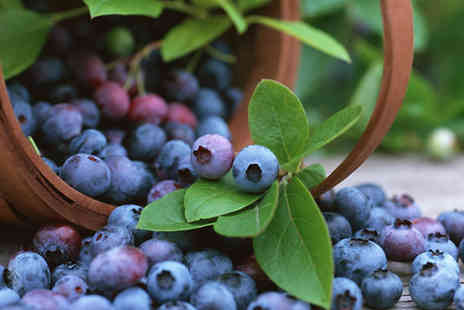Plant Store - Three Plant Blueberry Plant Collection - Save 63%