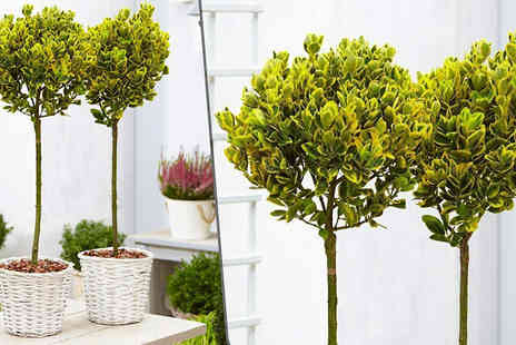 Plant Store - Pair of Golden Evergreen Euonymus Trees - Save 67%