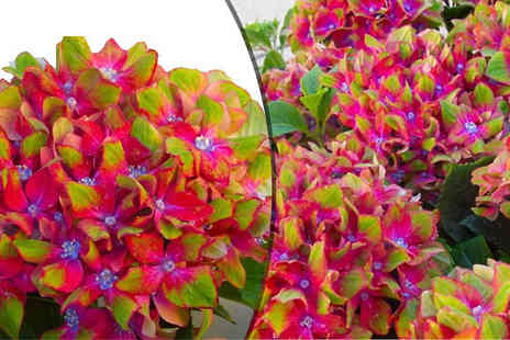 Plant Store - Pair of Glam Rock Hydrangeas - Save 63%