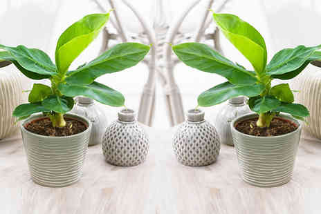 Plant Store - 2 x Bright Green Banana Plants - Save 69%