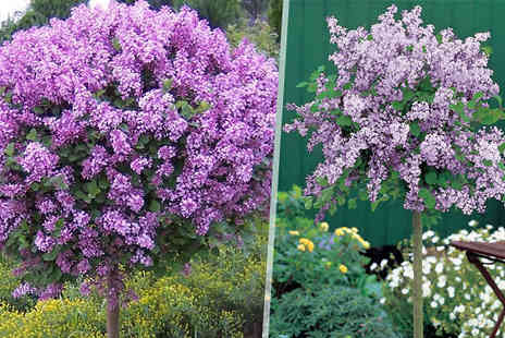 Plant Store - Scented Lilac Palibin Trees 1 or 2 - Save 50%