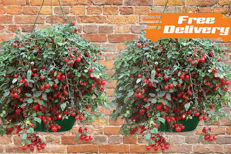 Jersey Plants Direct - Two Sweet Baby Tomato Hanging Baskets  Include Free Delivery - Save 0%