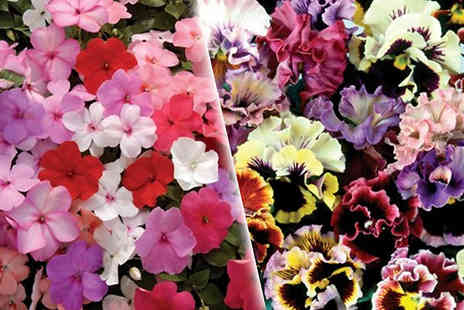 Jersey Plants Direct - 70 or 140 Summer Bedding Plants Busy Lizzies & Pansies - Save 40%