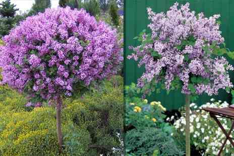 PlantStore - Pair of dwarf scented Korean Lilac Palibin trees - Save 58%