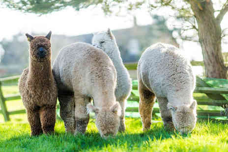Buyagift - Guided farm tour for two adults at Toft Alpaca Farm - Save 0%