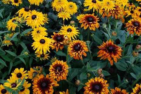 Groupon Goods Global GmbH - Rudbeckia Summerina Collection Three or Six Plants with Optional Flower Pouches - Save 40%