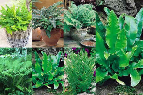 PlantStore - One or two set of five contrasting fern varieties - Save 62%