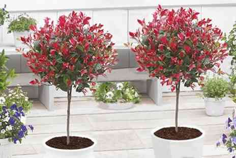 Groupon Goods Global GmbH - Pair of Evergreen Photinia Little Red Robin Trees - Save 47%