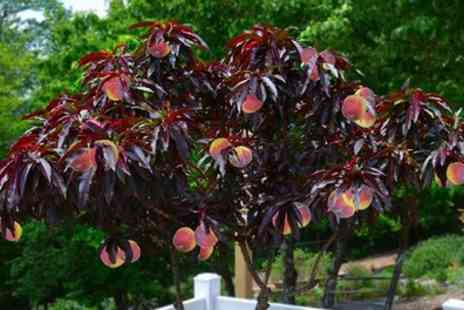Groupon Goods Global GmbH - Red Leaf Patio Peach Tree - Save 43%