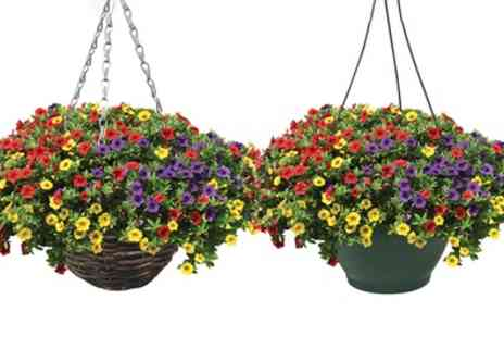 Jersey Plants Direct - Trailing Petunia Plants in Two Plastic or Rattan Hanging Baskets With Free Delivery - Save 20%