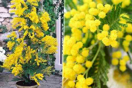 PlantStore - Two exotic mimosa tree plants - Save 52%