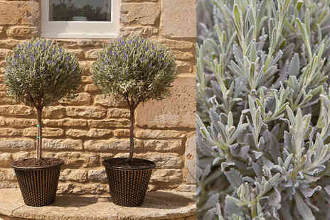Blooming Direct - A pair of standard lavender plants - Save 40%