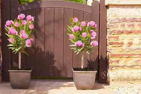 Blooming Direct - Pair of pink Oleander plants in 5l pots - Save 50%