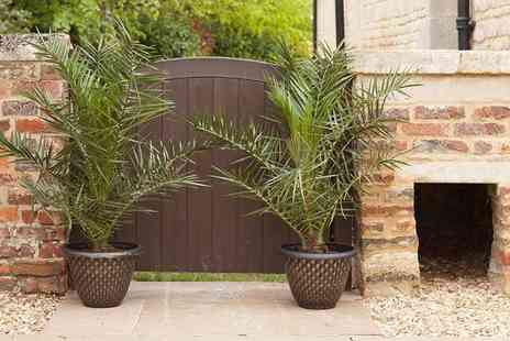 Blooming Direct - Two large Canary Island palm trees and two five litre, metallic-effect plant pots - Save 46%