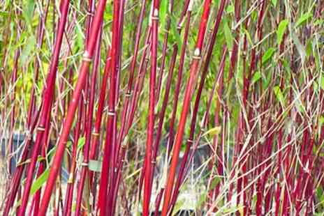 Groupon Goods Global GmbH - One, Two or Three Red or Blue Bamboo Plants with Optional Planters - Save 24%