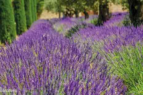 Groupon Goods Global GmbH - Up to 288 Lavender Hidcote and Munstead Plants - Save 75%