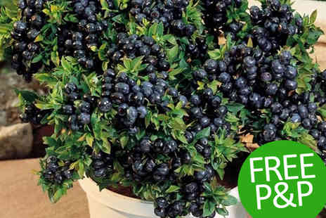 PlantStore - Top Hat Patio Blueberry Plant Collection - Save 48%