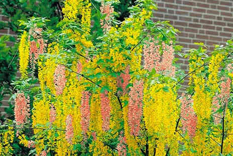 PlantStore - One Adams Laburnum Tree with Free P&P - Save 30%