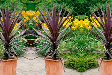 PlantStore - Three Cordyline Purple Tower Plants with Free P&P - Save 47%