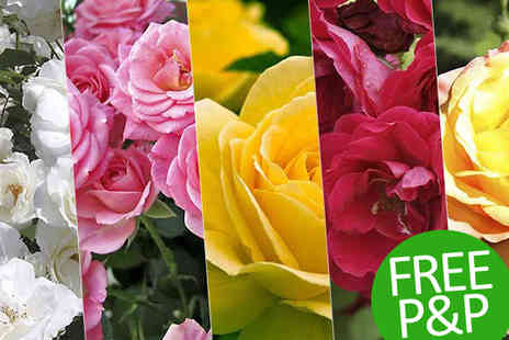 PlantStore - Five Pack Garden Glamour Rose Bush Collection - Save 60%