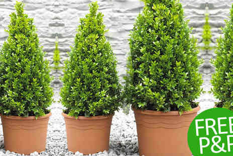 PlantStore - Pair of Premium Quality Topiary Buxus Plus Free Delivery - Save 48%